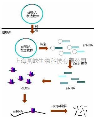 siRNA干扰检测服务