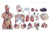 ZK-XC204/85CM两性躯干模型23件(人体骨骼)